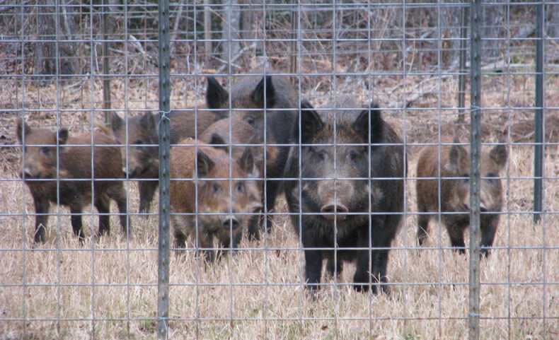 Trapping Wild Pigs. An article by Jeff Thomas.